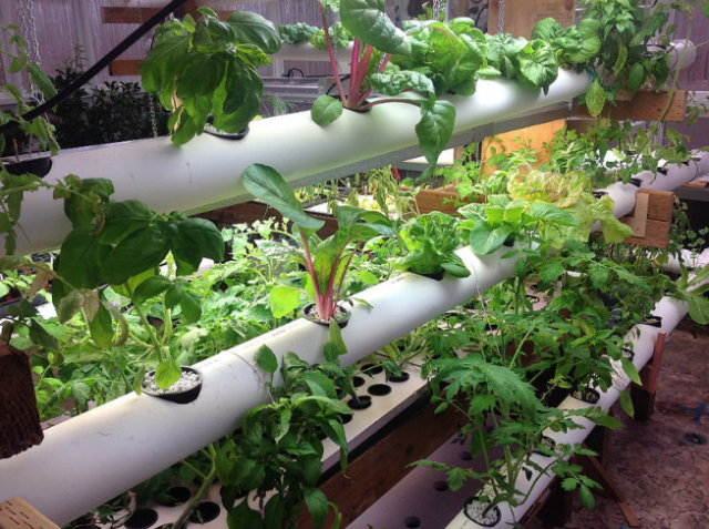 Hydroponically grown herbs. (Photo: Oregon State University/Creative Commons)